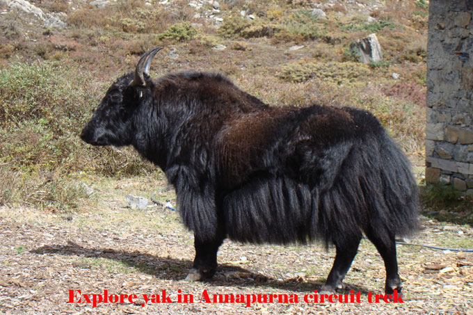 Yaks are found in heigher mountains and they are used for carrying goods and flesh.