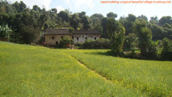 beautiful mustard plants and bamboo trees in indigenous peoples trail in nepal
