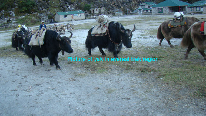 pictures of yaks in everest region nepal