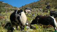 A mountain animal yak is found only in the higher elevation.