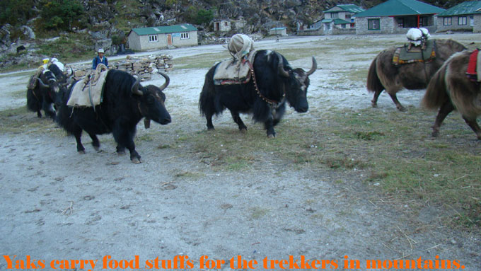 Yaks carrying food stuffs in mountains